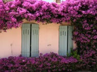 Gorgeous bougainvillea