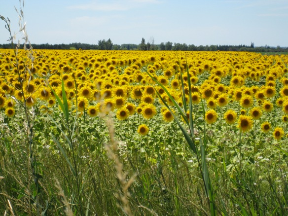 I adore sunflowers!