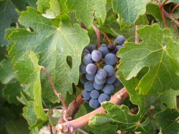 128 Grapes